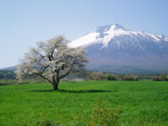 uwabounoipponsakura